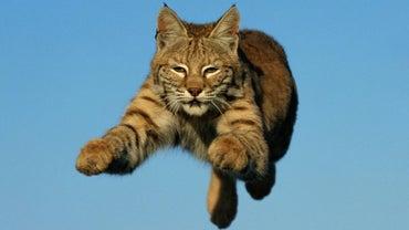 How Fast Can a Bobcat Run?