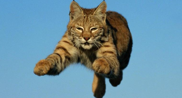 fast-can-bobcat-run
