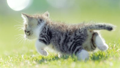 How Fast Can a Cat Run?