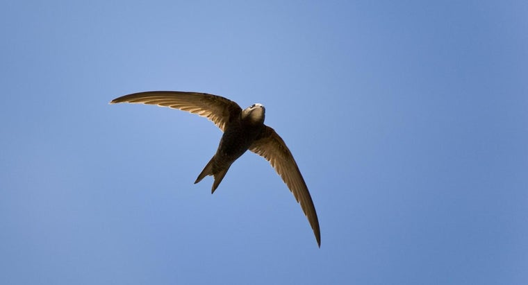 fast-can-fastest-bird-fly