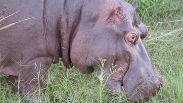 How Fast Can Hippos Run?