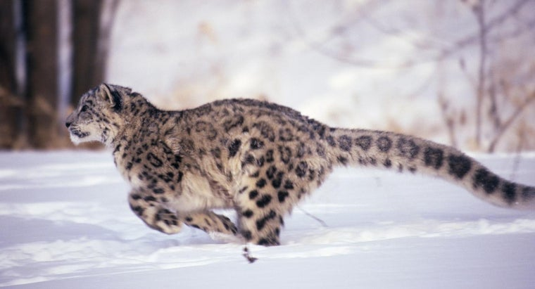 fast-can-leopard-run