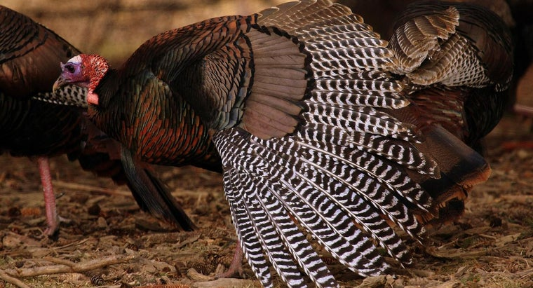 fast-can-wild-turkey-fly