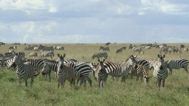How Fast Can Zebras Run?