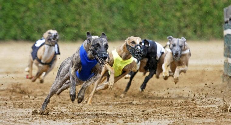fast-greyhounds-run