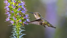 How Fast Do Hummingbirds Fly?