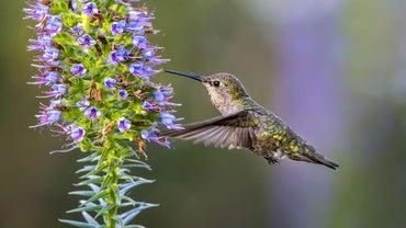 How Fast Do Hummingbirds Fly?