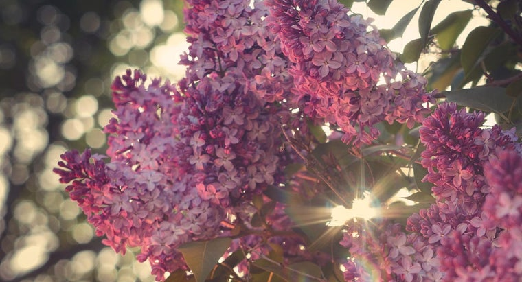 fast-lilac-bushes-grow