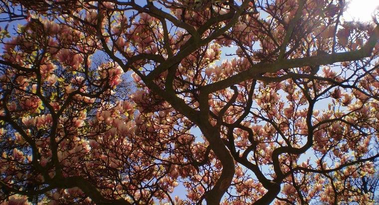 fast-magnolia-tree-grow