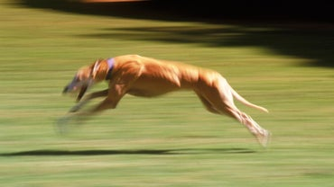 What Is the Fastest Dog?