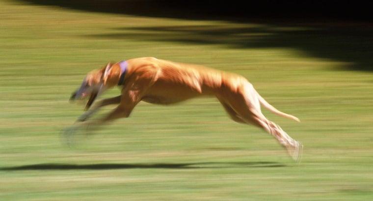 fastest-dog