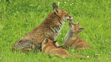 Does the Father or Mother Take Care of a Newborn Fox?