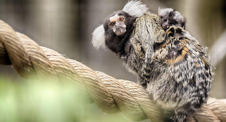 feed-baby-marmoset-monkey
