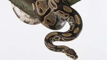 How Often Do You Feed a Ball Python?