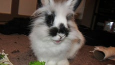 What Do You Feed a Lionhead Rabbit?