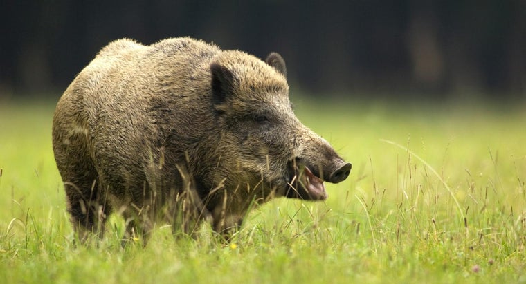 female-boar-called