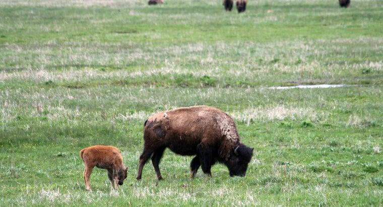 female-buffalo-called