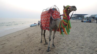 What Is a Female Camel Called?