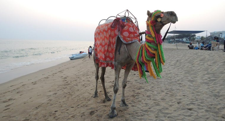 female-camel-called