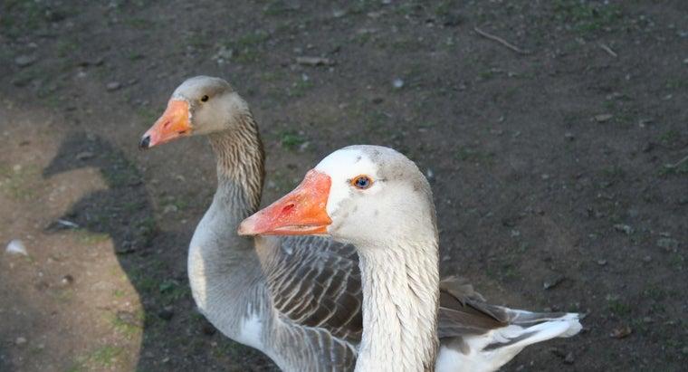 female-goose-called