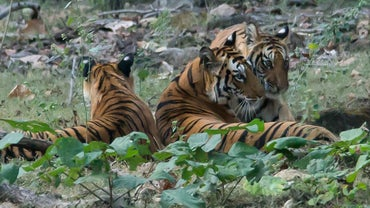 What Is a Female Tiger Called?