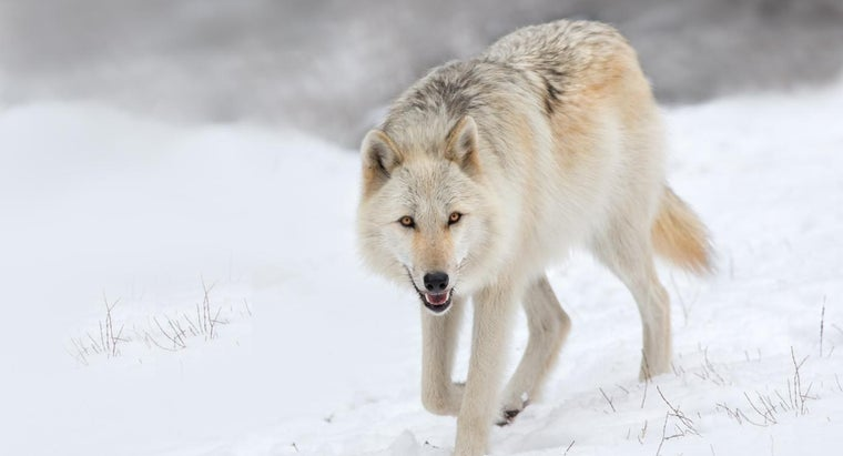 female-wolf-called