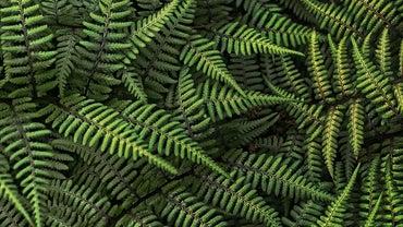 How Do Ferns Reproduce?