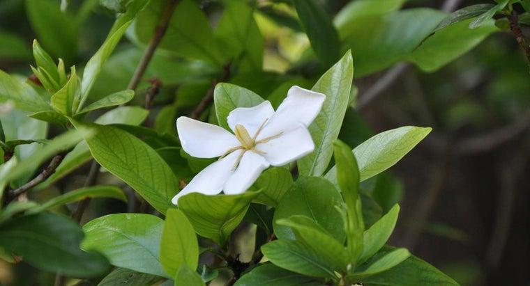 fertilize-gardenia-radicans