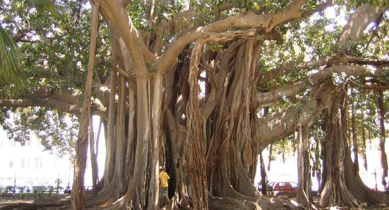 ficus-trees-poisonous