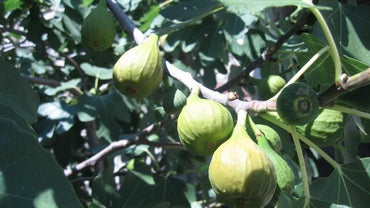 When Are Figs in Season?