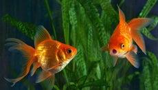 How Do Fish Gills Work?