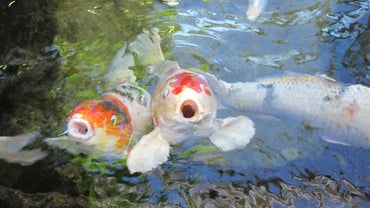 Why Do Fish Swim to the Surface of the Water?