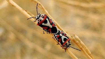 How Do You Fix Chinch Bug Damage?