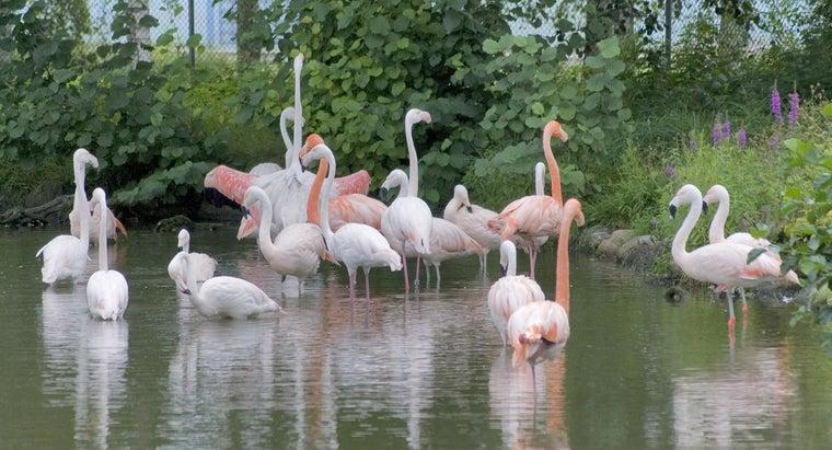 flamingos-endangered