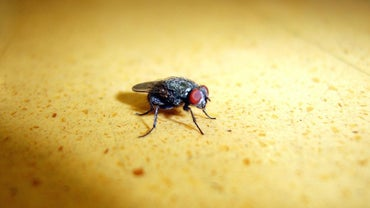 What Do Flies Eat?