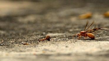 Do Flying Ants Bite?