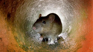 What Is the Best Food to Trap a Rat?
