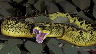 What Food Does the Viper Snake Eat?
