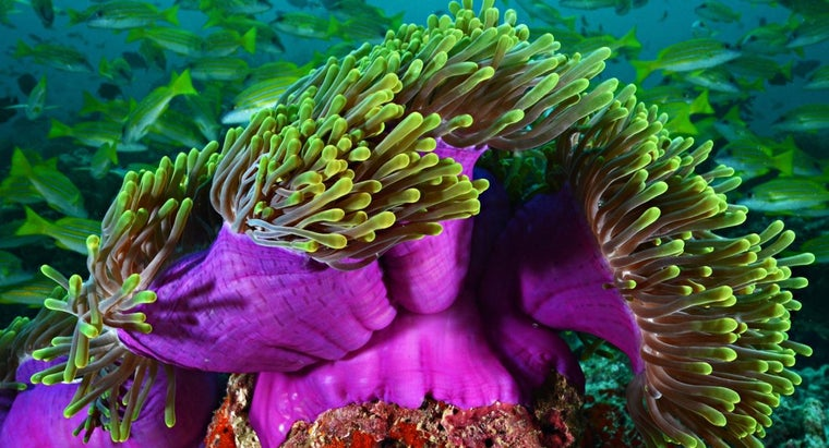 forms-reproduction-sea-anemone-use