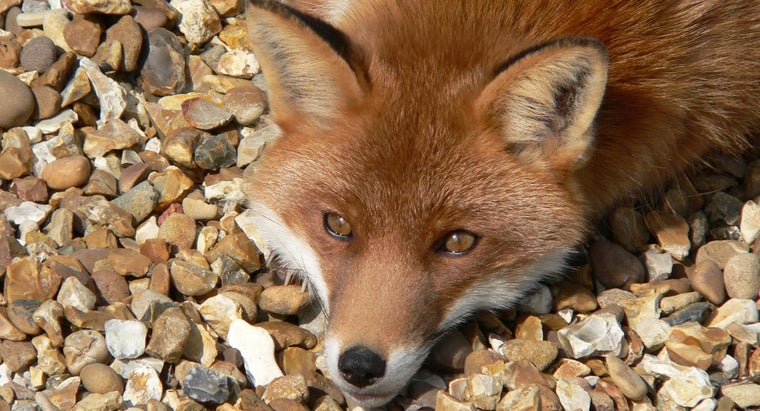 foxes-sleep