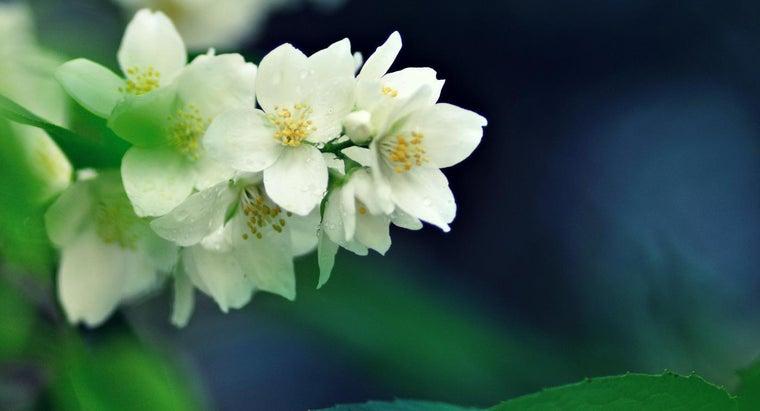 fragrant-jasmine-plant