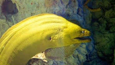What Is a Freshwater Moray Eel?