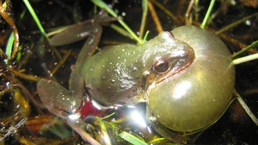 Why Do Frogs Croak After It Rains?