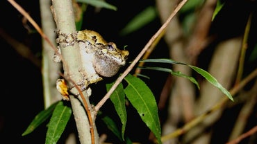 Why Do Frogs Croak at Night?