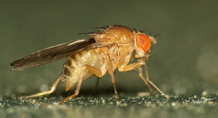 fruit-flies-look-like