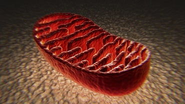What Is the Function of the Mitochondrion?