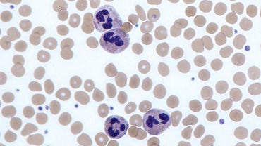 What Is the Function of a Neutrophil?