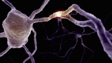 What Is the Function of a Synaptic Knob?