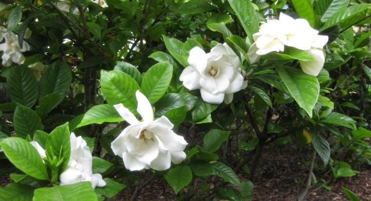 gardenia-leaves-turn-yellow