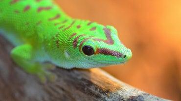 Where Do Geckos Live?